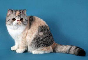 трехцветная экзотическая кошка