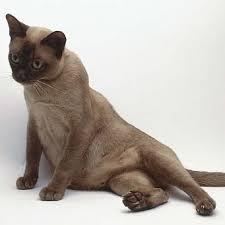 кошка с большим животом сидит