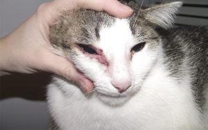 пищевая аллергия у кощки возле глаза