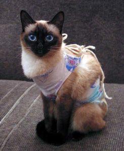 сиамская кошка после стерилизации
