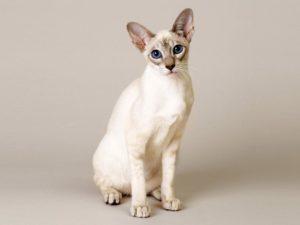кошка сфинкс сидит и смотрит в камеру