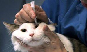 лечение кошки от ринотрахеита