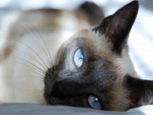 спокойная сиамская кошка
