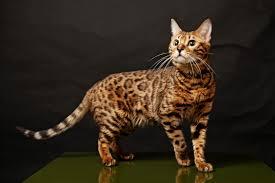 бенгальская кошка смотрит на верх