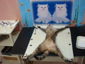 кошка перед операцией стерилизации
