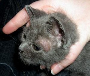 стригущий лишай у черного котенка