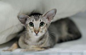 внешний вид ориентальной кошки
