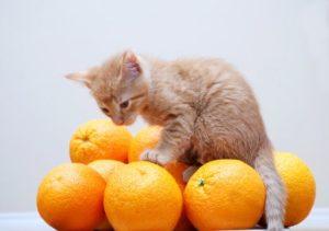 котенок сидит на апельсинах