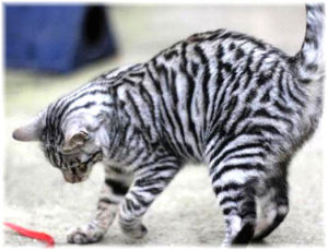 тойгер кошка серебристого окраса