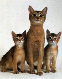 игривые абиссинские кошки