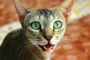 кот показывает свои зубы