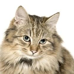 домашний пушистый кот