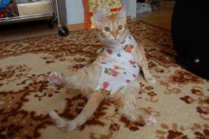 кошка после кастрации