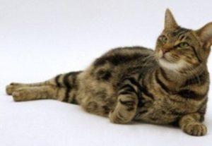 беременная кошка лежит на полу