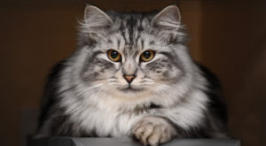 пушистая серая кошка
