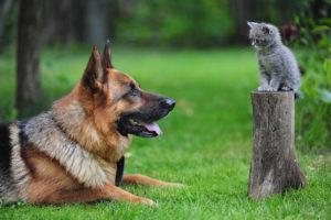 овчарка и котенок
