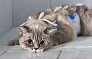 кастрированная кошка