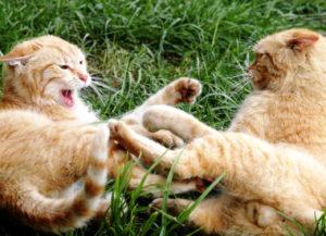 кошка не подпускает кота
