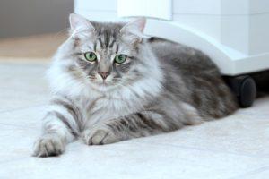 сибирская зеленоглазая кошка