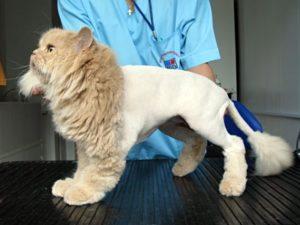 стрижка кота под льва