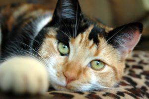 трехцветная кошка лежит