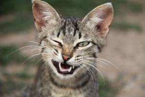 кошачья пасть