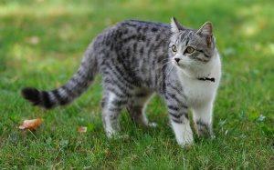 домашняя кошка гуляет на улице
