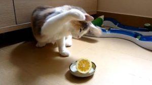 кот бьет лимон