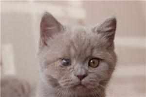 опухший глаз у котенка