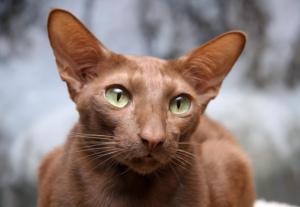 кошка яванез