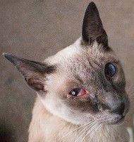 покраснение глаза у кошки