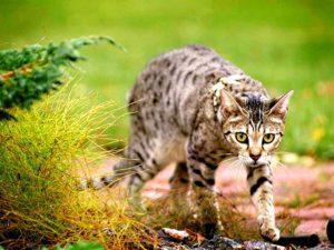 кошка саванна идет