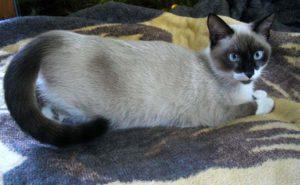 сиамская кошка хочет кота