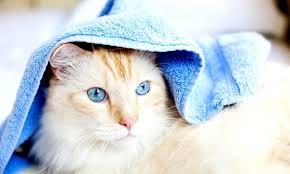 кошка накрыта полотенцем
