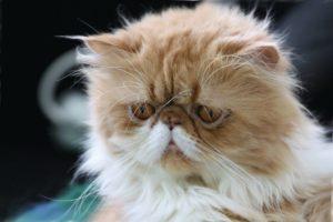 приплюснутый нос у кошки