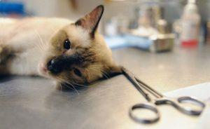 сиамская кошка под наркозом