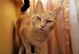 рыжий кот смотрит в камеру