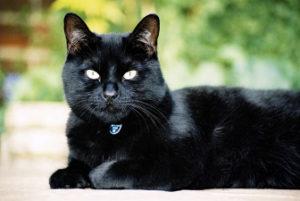 черная кошка лежит