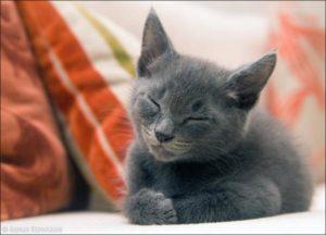 серый котенок мурлыкает