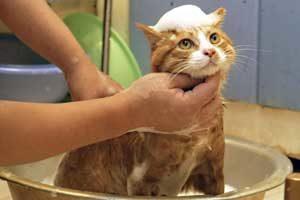 рыжего кота моют в тазике