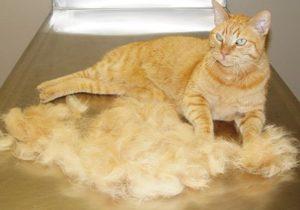 рыжий кот в своей шерсти