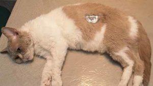 боковой доступ при стерилизации кошек