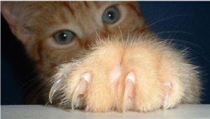 рыжий котенок выставил когти