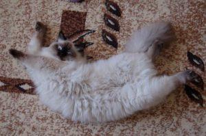 кошка растянулась на полу