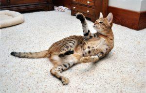 кошка саванна играет