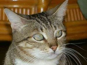 пленка на глазах у кошки