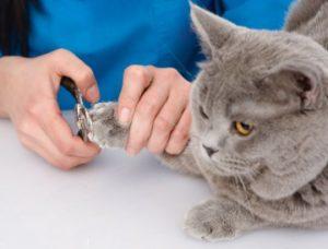 стрижка когтей британскому коту