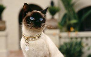 сиамская кошка с драгоценным ошейником