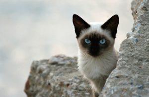 сиамская кошка среди камней