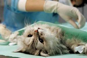 стерилизация кошки в ветклинике